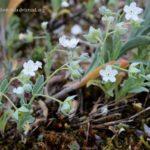 Omphalodes-littoralis-Lehm.-subsp.-gallaecica-M.Lainz-80369