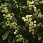 Acacia melanoxylon 1