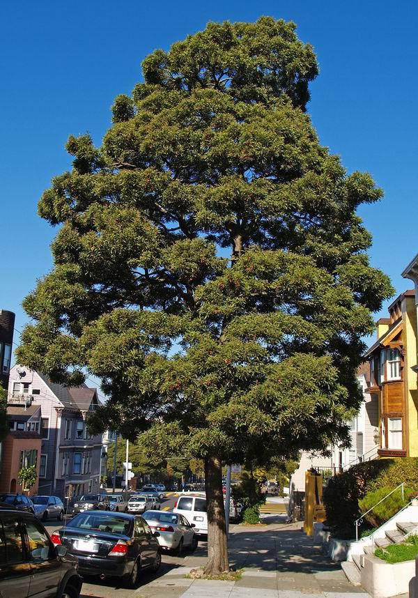 Acacia melanoxylon 2