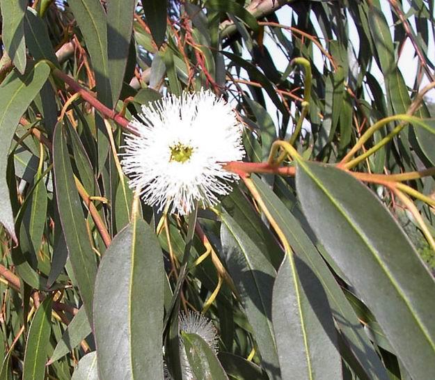 Eucalyptus globulus 1