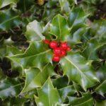 Ilex aquifolium 1