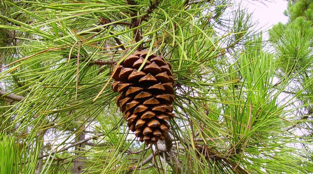 Pinus pinaster2