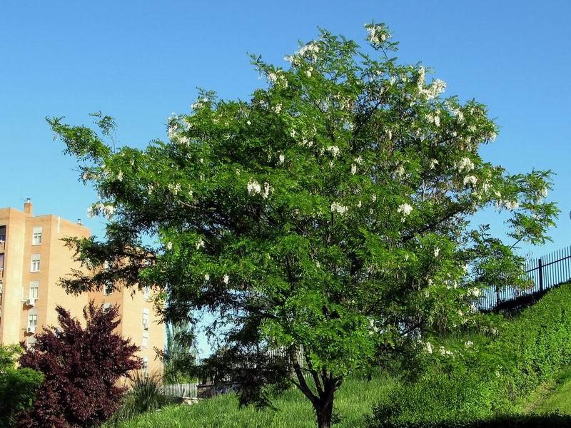 Robinia pseudoacacia 1