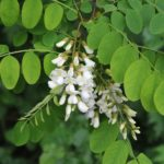 Robinia pseudoacacia 2