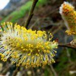 Salix atrocinerea 1