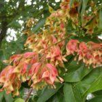 ailanthus altissima 1
