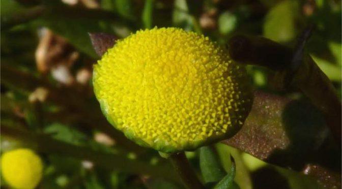 cotula-coronopifolia635