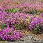 Bell-heather (Erica cinerea) in August