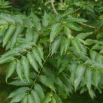 fraxinus excelsior 1