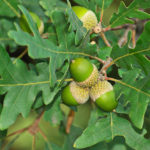 quercus pyrenaica 1
